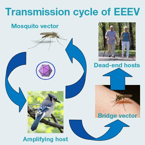 Health Topic: Eastern Equine Encephalitis (EEE) - Health Unit ...