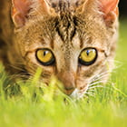 cat crouching in the grass